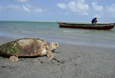 Em 23 anos, Projeto Tamar já salvou mais de 5 mil tartarugas marinhas no Ceará
